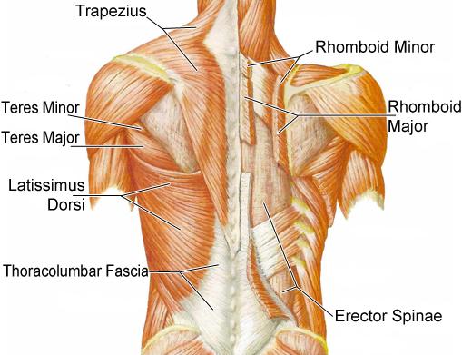 dos anatomie