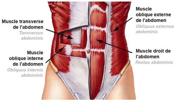 abdos anatomie