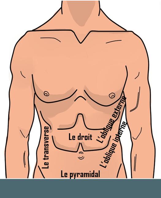 abs anatomie
